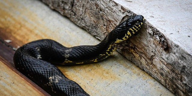 An Amur rat snake at the Sikhote-Alin Nature Reserve in Russian Far East. (Getty Images)
