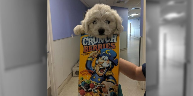 A 9-week-old puppy was discovered abandoned in a park and brought to an animal shelter in a cereal box.