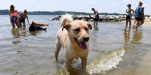 "Finnegan playing at the dog beach at Quiet Waters Park in Annapolis, Md., on Saturday. The National Weather Service said ""a dangerous heat wave"" was expected to break record highs in some places, particularly for nighttime. (AP Photo/Susan Walsh)"
