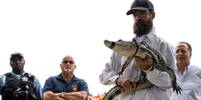 Florida alligator consultant Frank Robb binds an alligator during a news conference, Tuesday, Jul 16, 2019, in Chicago. Robb prisoner a fugitive alligator in a open firth during Humboldt Park early Tuesday. (AP Photo/Amr Alfiky)