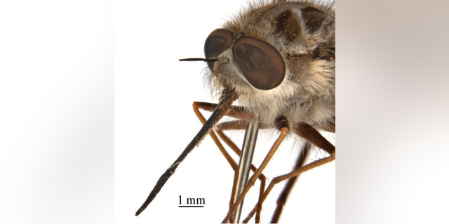 Paramonovius nightking is a bee fly named after Game of Thrones' Night King because it reigns in winter and has a crown of spinelike hairs. The name was chosen by Game of Thrones fan Xuankun Li, a PhD student at the Australian National Insect Collection in Canberra. (Credit: CSIRO)