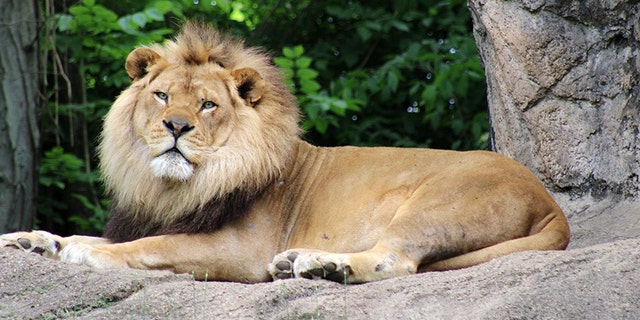 Razi was a 10-year-old African lion.