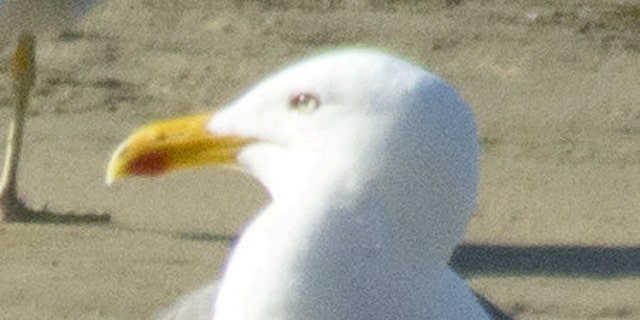 Westlake Legal Group SeagullSWNS1 'World's fastest seagull' stuns experts James Rogers fox-news/science/wild-nature/birds fox-news/science/wild-nature fox news fnc/science fnc article 60312130-dd91-5dc8-a8de-c03ccfbd7bc6