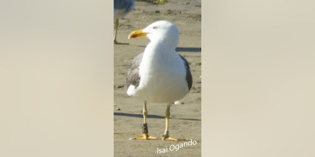 Westlake Legal Group SeagullSWNS2 'World's fastest seagull' stuns experts James Rogers fox-news/science/wild-nature/birds fox-news/science/wild-nature fox news fnc/science fnc article 60312130-dd91-5dc8-a8de-c03ccfbd7bc6