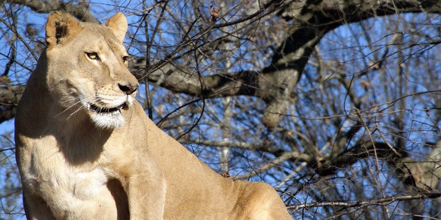 Sheba was a 17-year-old matriarch, leading a pride of three lions.