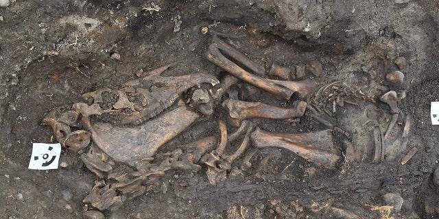 The horse skeleton. (Arkeologerna Statens Historiska Museer)