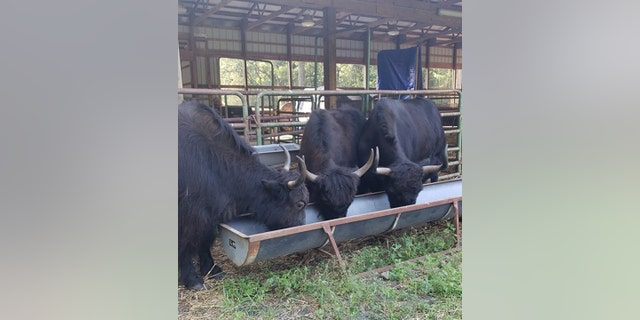 The average male yak can weigh anywhere between 700 to 1,300 pounds.