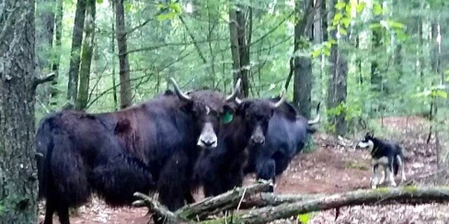 The massive animals were reported on the loose in the Bear Hole Reservoir.