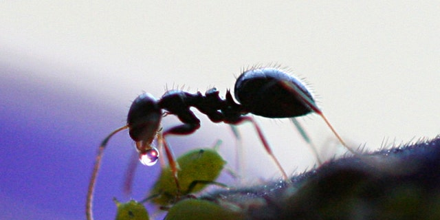 Image of an ant who received honeydew from aphid. (Credit: Dawidi, Johannesburg, South Africa)