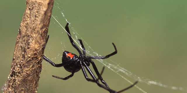 You'll have flourishing and redness during a site and we might be means to see dual fang outlines when you're identifying bug bites from these spiders.