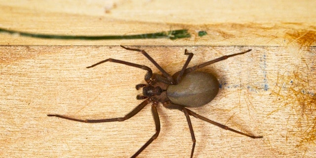 If you disturbed a brown recluse and it bit you, you may not realize it right away.