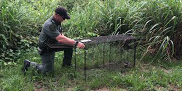 Deputies set out traps after a man was mauled to death by stray dogs in Lake Placid, Fla., on the Fourth of July.
