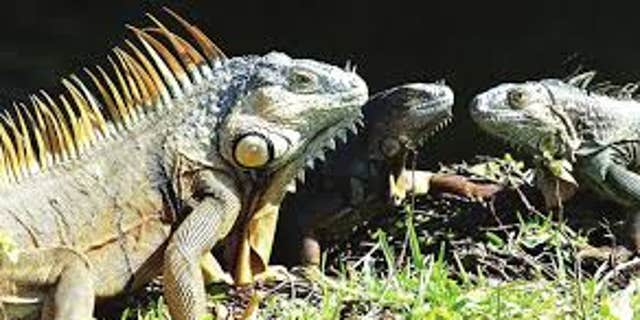 "Green iguanas are considered an ""invasive species"" because of the damage they can cause, according to the FWC.?"
