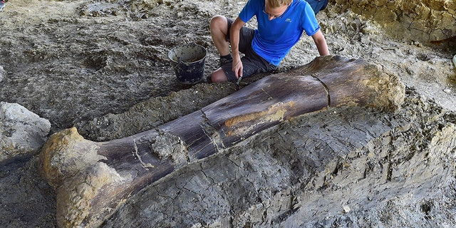 Maxime Lasseron, who is researching his doctorate at the National Museum of Natural History of Paris, inspects the femur of a Sauropod on July 24, 2019, after it was discovered earlier in the week during excavations at the palaeontological site of Angeac-Charente, near Châteauneuf-sur- Charente, south western France. (Credit: GEORGES GOBET/AFP/Getty Images)