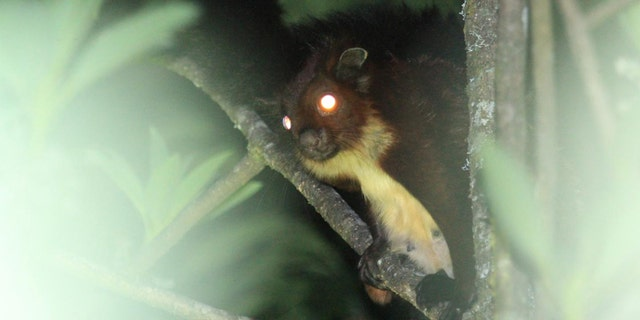 Close-up of the newly described flying squirrel species Biswamoyopterus gaoligongensis. (Credit: Kadoorie Farm & Botanic Garden)