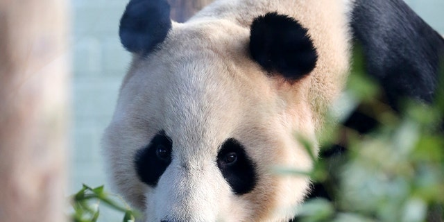 Yang Guang (pictured) and his mate Tian Tian are the only two giant pandas in the United Kingdom.  (AP File)