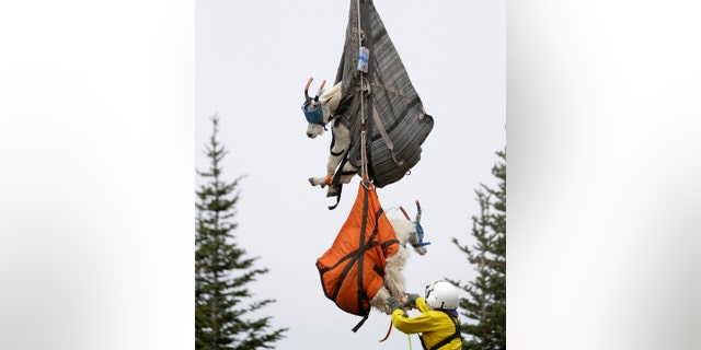 Olympic National Park Wildlife Branch Chief Patti Happe reaches toward a pair of mountain goats, including a billy, top, and a nanny, to settle them on the back of a truck after they were airlifted by helicopter Tuesday, July 9, 2019, to Hurricane Ridge in the park near Port Angeles, Wash. (AP Photo/Elaine Thompson)