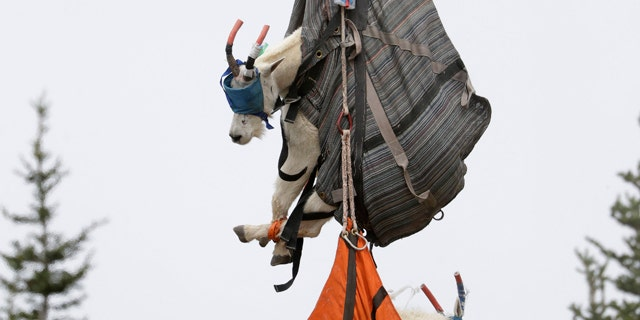 Olympic National Park Wildlife Branch Chief Patti Happe reaches toward a span of towering goats, including a billy, top, and a nanny, to settle them on a behind of a lorry after they were airlifted by helicopter Tuesday, Jul 9, 2019, to Hurricane Ridge in a park nearby Port Angeles, Wash. (AP Photo/Elaine Thompson)