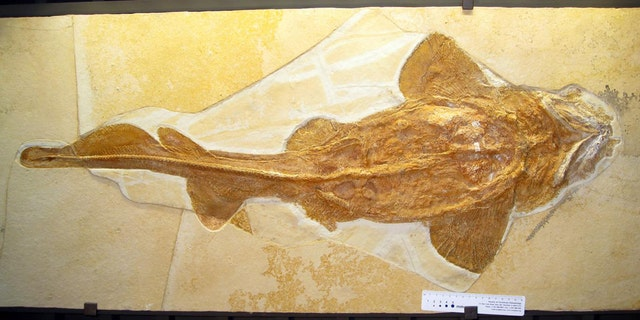 A whole skeleton of a hoary shark Palaeocarcharias stromeri (total length approximately 1m) from a Jura Museum Eichstätt. (Credit: Jürgen Kriwet)
