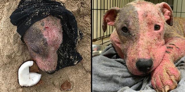 The dog, named Leialoha, was discovered on a beach on Oahu on Tuesday.