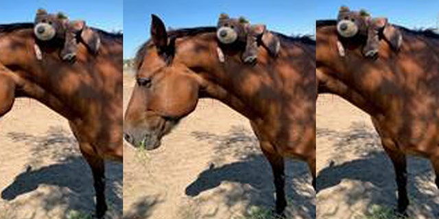 Maximus, a horse with the Stanislaus County Sheriff's Department, was punched Sunday during a brawl at the Stanislaus County Fair, according to officials.