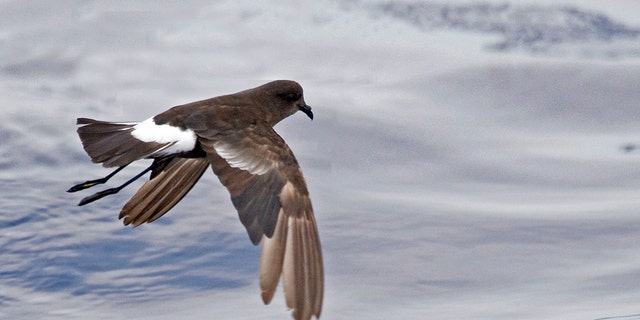 A storm-petrel, one of a singular birds approaching to advantage from a rodent eradication.