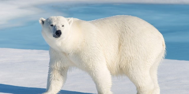 Polar bears, like the one pictured above, are a federally protected species. (iStock)