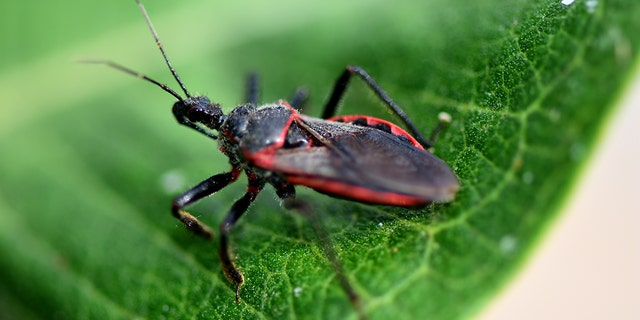 The kissing bug is a blood-sucking insect that attacks humans for food.