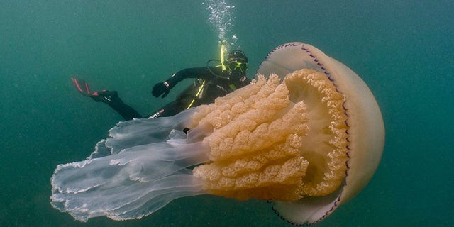 The divers swam alongside the barrel jellyfish for roughly an hour.