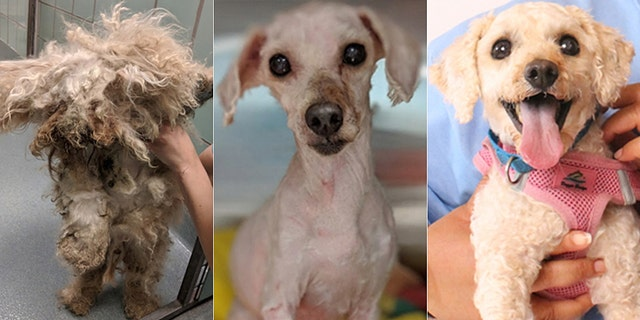 Photos of Lionheart (now known as Cody) before, during and after his treatment and rehab at the Richmond SPCA.