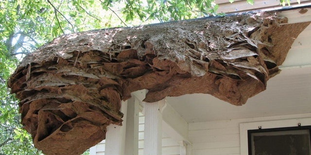"Scientists are warning Alabama residents to be on the lookout for yellow jacket ""super nests."""