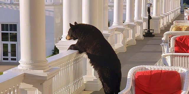 A black bear peers over a railing on the back veranda at the Omni Mount Washington Resort just after sunrise at Mount Washington, N.H. (AP/Omni Mount Washington Resort)