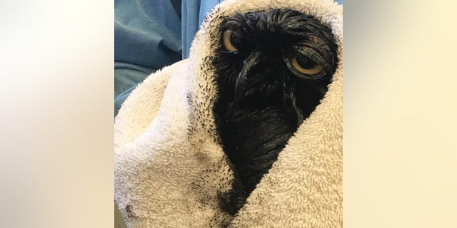 A great horned owl was covered in oil in California.