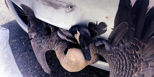 A goose was rescued Saturday after becoming stuck in the grille of a pizza delivery driver's car in Burlington, Vt.