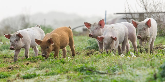 No human cases of swine flu have been reported at this time, county health officials said.