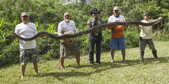 The python held over a weekend totalled 16 feet, 1-inch long. It was about 1 feet bashful of a record length in Florida.