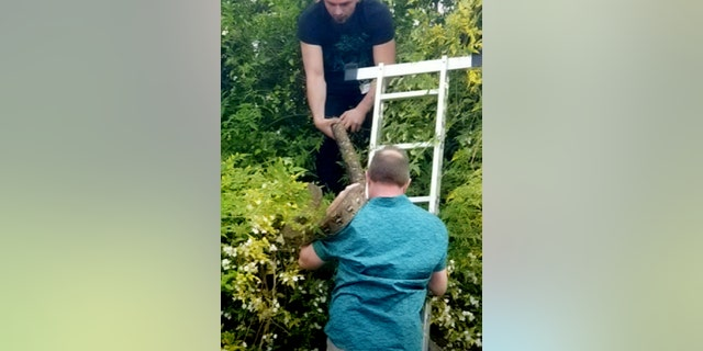 Cambridge residents were alerted that Turin, a reticulated python, was hiding up a tree after being alerted to the sound of squawking birds. (Credit: SWNS)