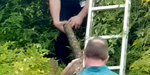 Cambridge residents were alerted that Turin, a reticulated python, was stealing adult a tree after being alerted to a sound of squawking birds. (Credit: SWNS)