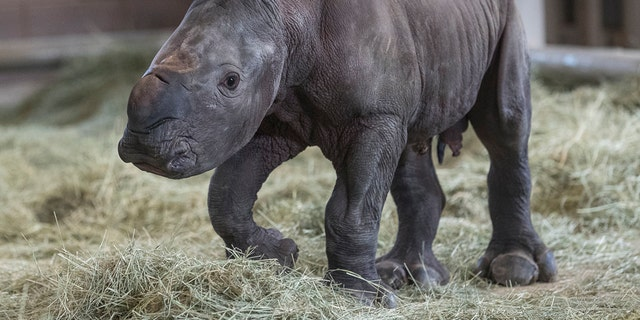 This Monday, July 29, 2019 photo provided by the San Diego Zoo shows a day-old southern white rhino calf standing on its wobbly legs at the Nikita Kahn Rhino Rescue Center at the San Diego Zoo Safari Park in Escondido, Calif. (Ken Bohn/San Diego Zoo via AP)