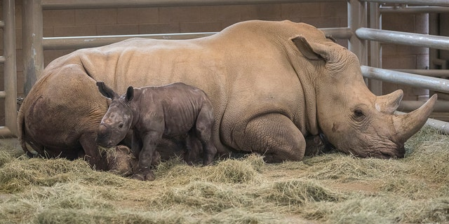 This Monday, July 29, 2019 photo provided by the San Diego Zoo shows a day-old southern white rhino calf stands beside its resting mother, Victoria, at the Nikita Kahn Rhino Rescue Center at the San Diego Zoo Safari Park in Escondido, Calif. The zoo has announced the first successful artificial insemination birth of a southern white rhino in North America. (Ken Bohn/San Diego Zoo via AP)