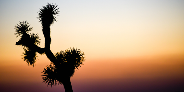 """California's Joshua Tree National Park could lose 80% of its iconic trees by 2070 due to drought and wildfire — and, according to a new study, that's just the """"best case scenario."""""""