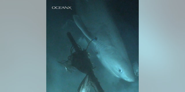 Blutnose sixgill shark eyeing the bait the team laid out. (Credit: OceanX, Florida State University)