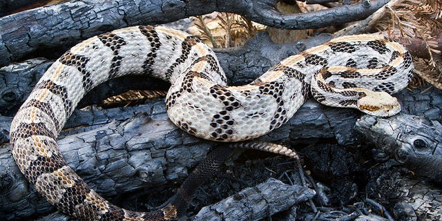 Police began the process of impounding the SUV -- when they noticed a terrarium in the backseat that contained a Timber Rattlesnake.