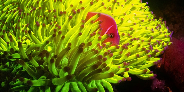 Marine species with fluorescent proteins absorb, transform and reemit light, generating a spectacular display of color in the process.