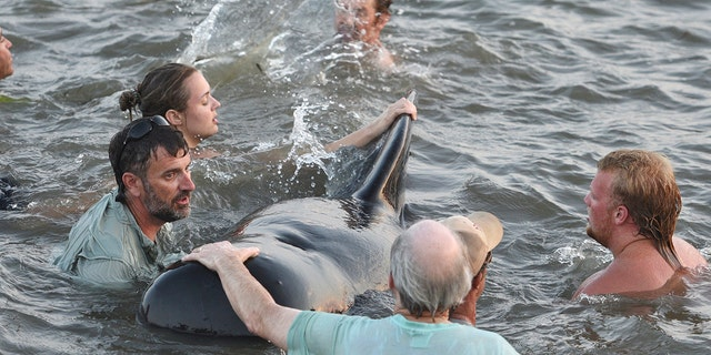 Georgia DNR personnel and beachgoers struggle to keep a short-fin pilot whale from crashing into the seawall. (Bobby Haven /The Brunswick News via AP)