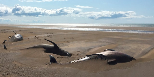 It is believed that the whales likely died of dehydration. (David Schwarzhans via AP)