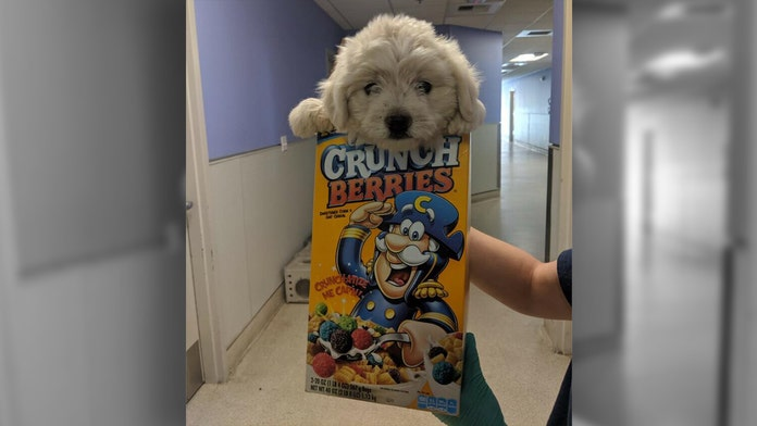 Dog dropped off at California animal shelter in cereal box, infested with fleas gets adopted