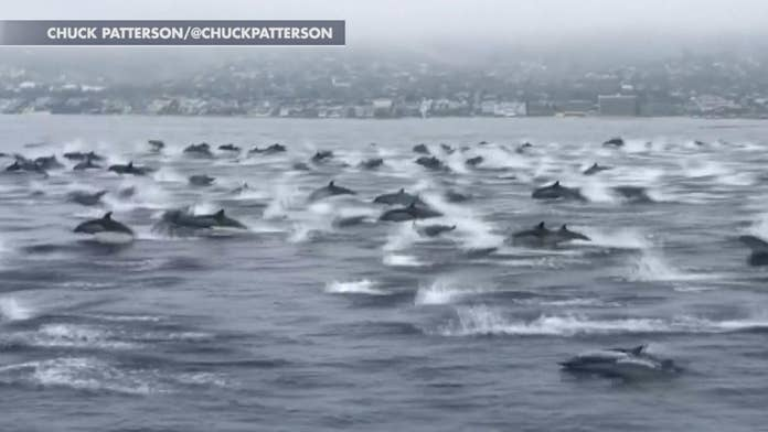 Dolphin 'mega pod' off California coast stuns onlookers, video shows