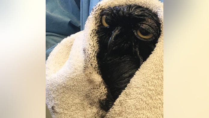 Great horned owl discovered completely covered in oil after getting into pit