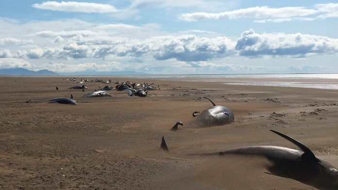 At least 50 dead pilot whales wash up on remote beach in Iceland